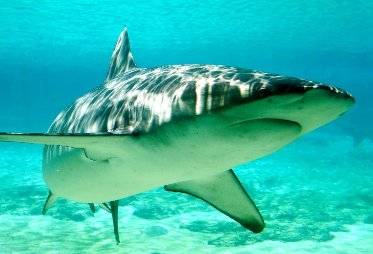Carcharhinus_obscurus_gold_coast