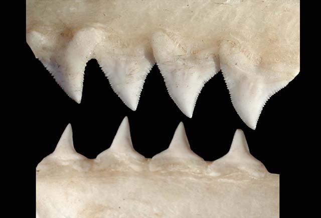 Carcharhinus_obscurus_teeth